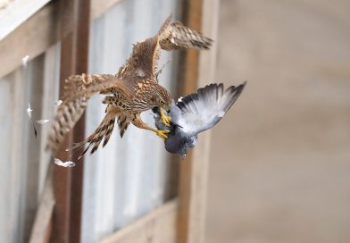 Памятка по дневным хищным птицам